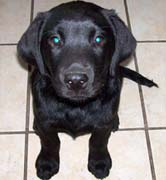 Black Labrador Puppy Sitting Pretty