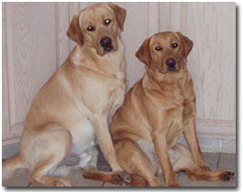 Fox Red Labrador Retrievers